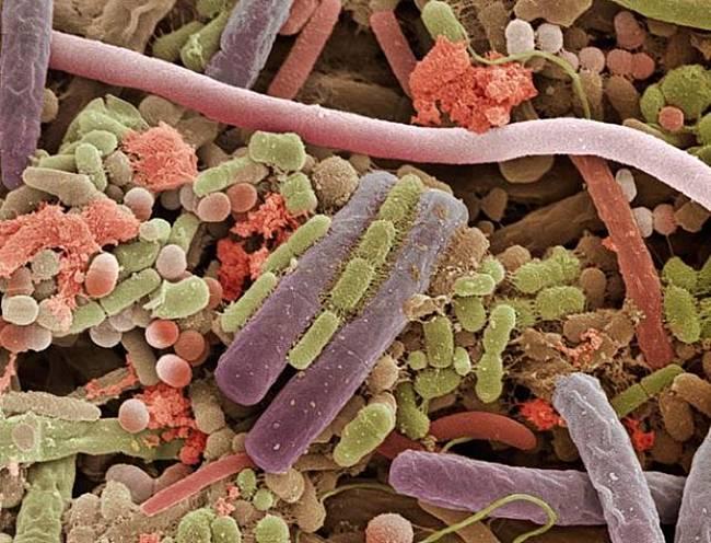 dilde bakteriler